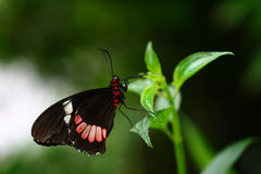 Red Postman Mimic butterfly 2. A photo of Red Postman butterfly on a plant stock photo