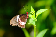 Red Postman Mimic butterfly. A photo of Red Postman butterfly on a plant stock image