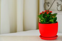 Red pot flower Kalanchoe in interior Stock Photo