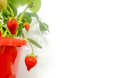 Red pot of strawberry plant on white Stock Photography