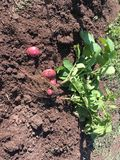 Red potato plant with red potatoes in dirt. Picture of a red potato plant with red potatoes attached, uncovered in the dirt, ready to harvest stock photos