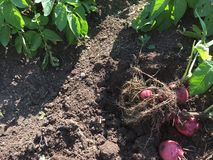 Red potato plant with red potatoes in dirt. Picture of a red potato plant with red potatoes attached, uncovered in the dirt, ready to harvest with other plants stock photography
