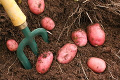 Red Potatoes. Red Desiree potatoes dug out from the soil stock photography