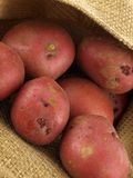 Red potatoes. Gourmet red potatoes in a sack Stock Photos