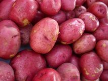 Red Potatoes. Baby Red potatoes Stock Images