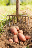 Red potatoes and digging fork Stock Photos