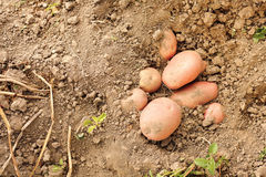Red potatoes in soil Stock Images