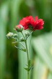 Red Potentilla Stock Photography