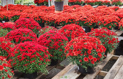 Red Potted Chrysanthemum Flowers Autumn Display Royalty Free Stock Photography