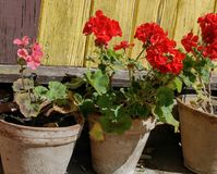 Potted flowers. Red potted flowers Royalty Free Stock Photos