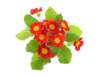 Red potted primrose Stock Images