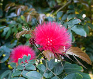 Red Powder Puff. In bloom stock photo