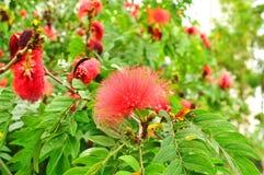 Red powder puff flower. Species name: Calliandra haematocephala Stock Image