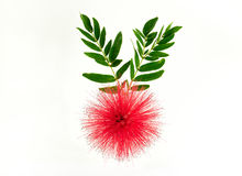 Red powder puff flower on white background. Close up of Red Powder Puff or Calliandra haematocephala Hassk with green leaves on white background royalty free stock photography