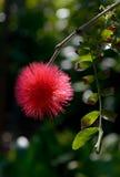 Red powder puff Stock Photo