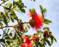 Red powder puff tree flower Calliandra haematocephala. Red Powder Puff flower or red pom pom flower as seen on the street in Venice Los Angeles California. It is stock images