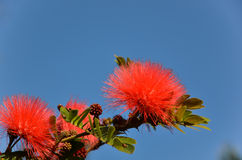 Red powder puff Stock Images