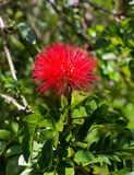 Red Powderpuff. Single Red Powderpuff Flower in a bright day Royalty Free Stock Photos