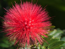 Red Powderpuff Flower Blooming Stock Photos