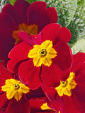 Red primrose Stock Photo