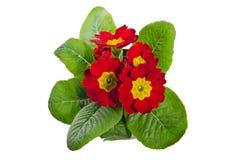 Red primrose Stock Image