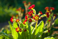 Red primrose Royalty Free Stock Photos