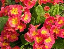 Red primrose Royalty Free Stock Photo