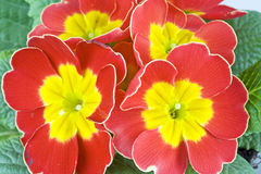 Red primrose. Close up of a red primrose Royalty Free Stock Photos