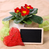 Red primrose with black board Royalty Free Stock Image