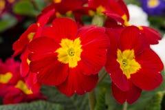 Red primrose Stock Photo