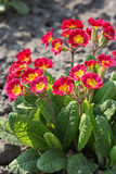 Red primrose flower Stock Image