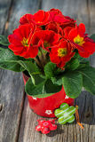 Red primrose Royalty Free Stock Images
