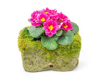 Red primrose in a  flower trough Stock Image