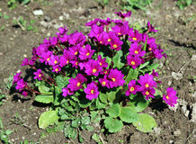 Red primrose flowers Stock Image