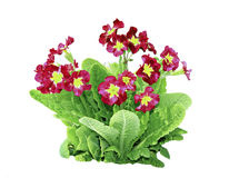 Red primrose flowers isolated Stock Image