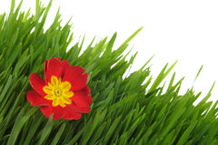 Red primrose on the green grass Stock Photo