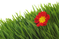 Red primrose on the green grass Royalty Free Stock Photo