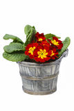 Red primrose, symbol of spring Royalty Free Stock Photos