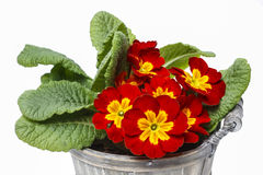 Red primrose, symbol of spring Royalty Free Stock Images