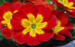 Red primrose, symbol of spring Stock Photography