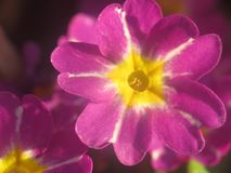 Red primrose - a yellow star in a red crown. stock photography