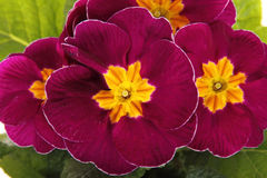 Red  primroses Stock Photo