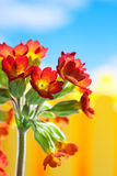 Red primroses against blue sky with clouds Royalty Free Stock Photos