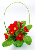 Red primula  in basket flowers and plants Stock Image