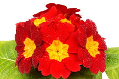 Red primula Royalty Free Stock Photography