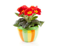 Red primula flower in colorful pot Royalty Free Stock Image