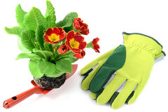 Red primula flower on garden shovel with gloves Royalty Free Stock Photo