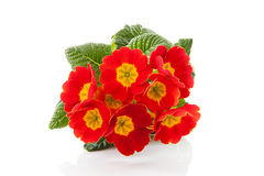 Red Primula flowers Stock Photography
