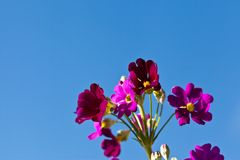 Red primula flowers and blue sky Stock Photo