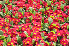 Red Primula Royalty Free Stock Photos
